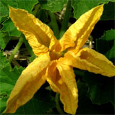 P-Patch Vegetable Gardening (Squash blossom)